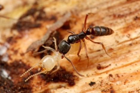 Konkurentem argentinského mravence by se mohl stát bodavý druh z Asie. Ten by mohl jeho šíření zastavit.