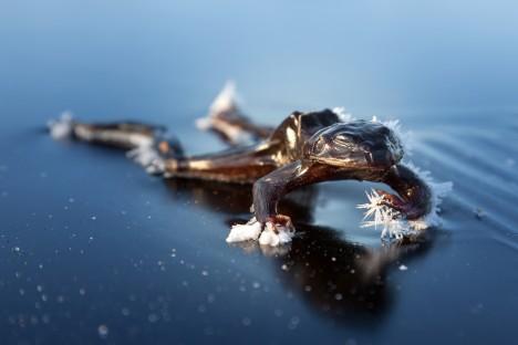 Se zamrzáním má skokan lesní mnoho zkušeností, dokáže v tomto stavu přežít i několik měsíců.