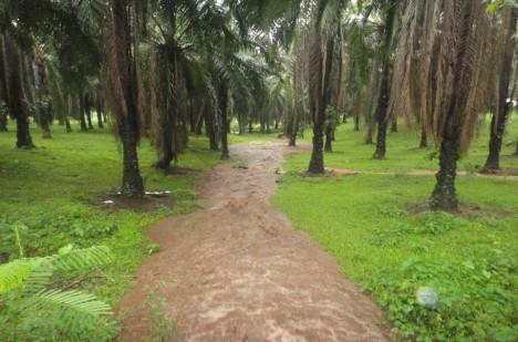 Palmové háje stále častěji nahrazují původní pralesy. Pro zvířata i celou planetu je to pohroma.
