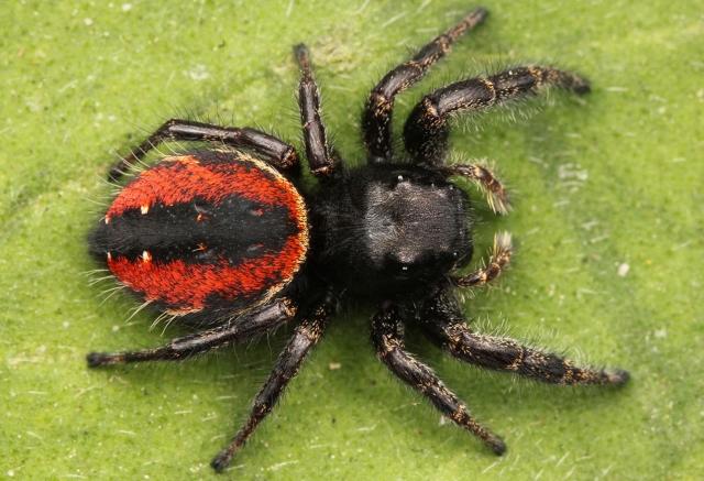 Pavouci mohou za zbarvení některých pavouků.
