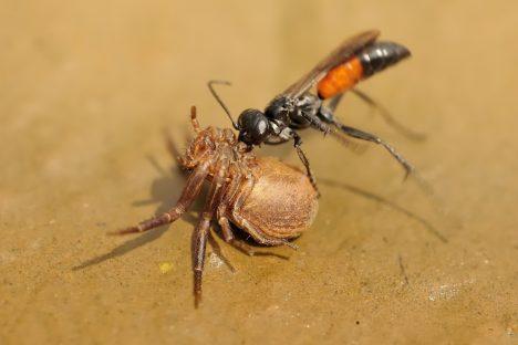 Hrabalky jsou příbuzné svosami, které loví výhradně pavouky. Troufnou si přitom na kusy daleko větší, než jsou ony samy. Při lovu kořist paralyzují žihadlem, ale neusmrtí ji. Slouží totiž jako potrava pro jejich larvy. Ikdyž je jejich jed méně toxický než například uvosy, je potřeba dávat si velký pozor. Bodnutí hrabalky je totiž jedno znejbolestivějších vříši hmyzu vůbec.