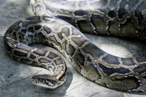 obří had
