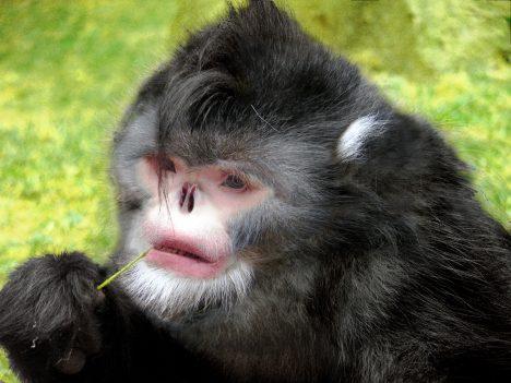 Na první pohled to vypadá, jako by tomuto primátovi chyběl nos. Ve skutečnosti je to ale tak, že jeho nosní dírky mají obrácený tvar. Vobdobí dešťů tak těmto opicím doslova prší do nosu a musejí opakovaně kýchat, aby se vody zbavily. Opice se však naučili přečkat déšť tak, že se předkloní aschovají hlavu mezi kolena. Zajímavé také je, že mají ocas jeden apůl krát delší než tělo.