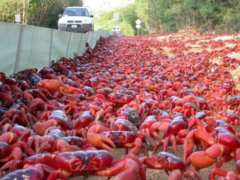 Podmínkou krabí migrace je nástup období dešťů.