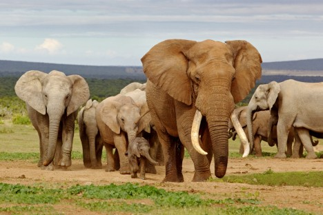 An elephant herd, led by a Magnificent 'Tusker' bull at a waterhole in the Addo Elephant National Park.