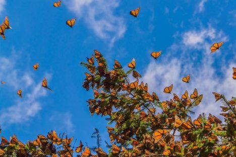 """Motýli podle všeho jako """"kompas"""" využívají Slunce."""