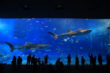Největší žralok na světě - žralok velrybí.