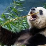 Fascinující zvířata: Proč se pandy naučily žrát bambus?