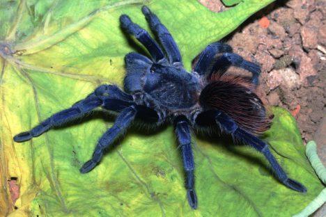Zprávy ozvláštním modrém pavoukovi kolovaly mezi odborníky už vdřívějších letech, trvalo ale celých pět let, než se jej vobtížně přístupném horském terénu podařilo objevit. Aby vydrželi tamní střídání sucha aextrémních srážek, schovávají se pod kameny, kde zvládají teploty od 10 do 35stupňů Celsia. Nejde však oúplně první modrou tarantuli, jiný druh byl objeven vroce1996 vThajsku.
