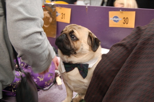 Pug with bow tie