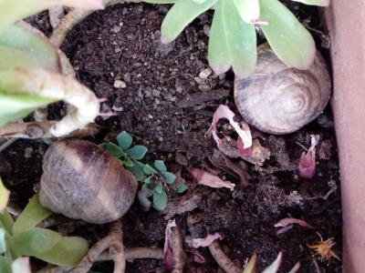 """Riproduzione delle lumache: i """"dardi"""" dell'amore"""