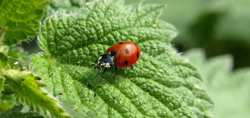 Coccinelle: alleate in agricoltura