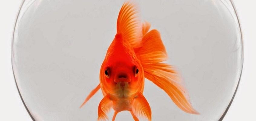 Pesce rosso nella boccia di vetro: assolutamente no!