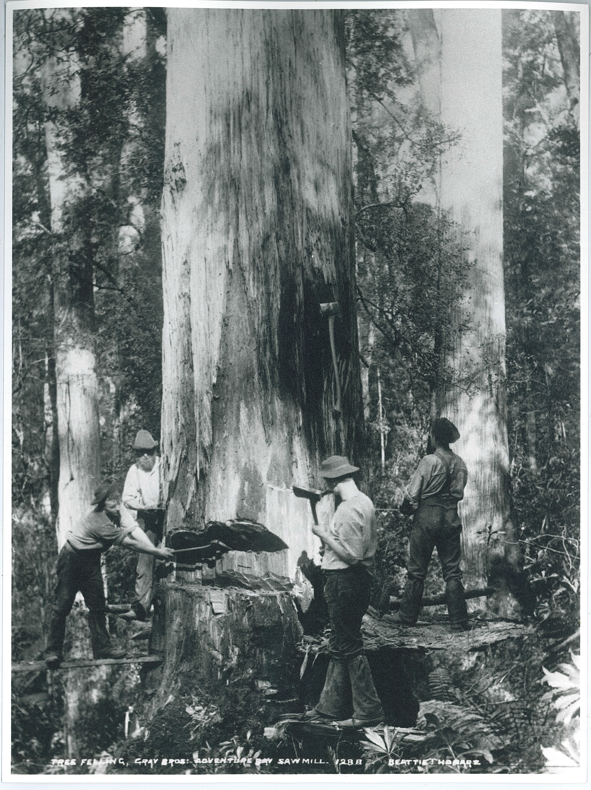 Photographs of blue gum timber production in Southern Tasmania in the early 1900s  Open Access