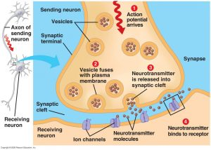 Synaptic Cleft – The Nerve Impulse