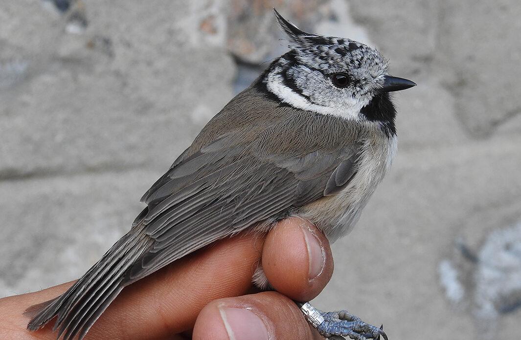 Φθινοπωρινές Δακτυλιώσεις πουλιών στον Όλυμπο, από τον Φορέα Διαχείρισης Εθνικού Δρυμού Ολύμπου