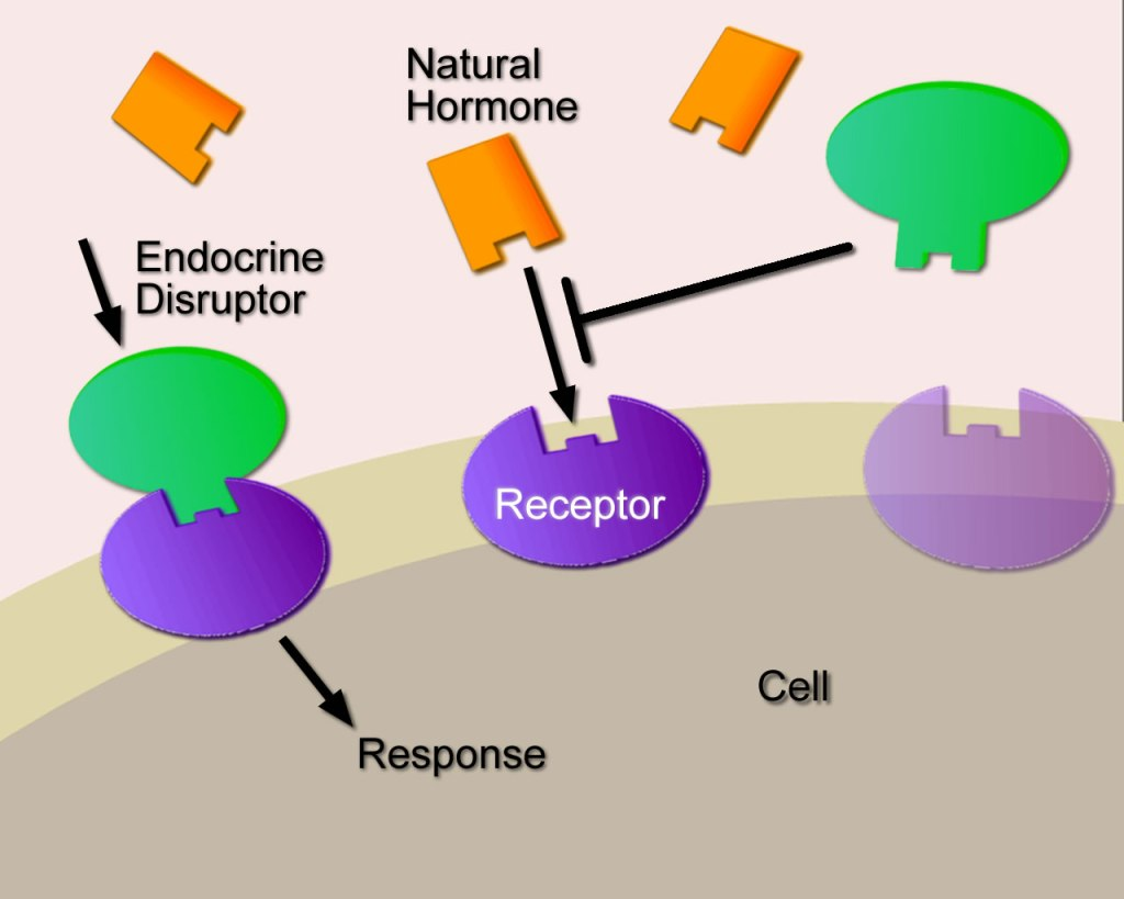 Health threats from endocrine disruptors: A scientific and regulatory challenge