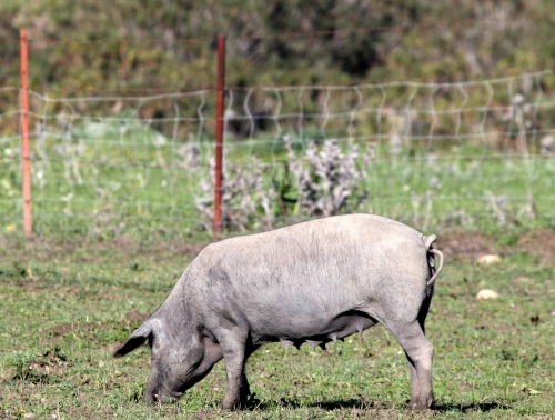 Control of swine fever in the EU