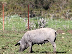 Black Iberian pig on a meadowk
