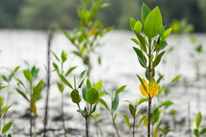 mangrove forest planting