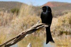 fork_tailed_drongo albert herbigneaux