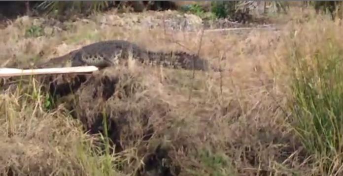 BUAYA. Seekor buaya terlihat naik ke darat, tidak jauh dari pemukiman warga Parit Kebayan, Desa Jungkat, Kecamatan Siantan menarik perhatian warga. netizen for Rakyat Kalbar