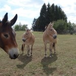 4 beautiful mules in a field waiting for their next adventure