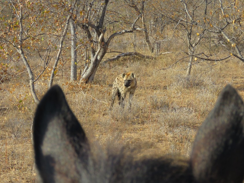 SA horseback safaris always lead to amazing animal sightings: here Claudia encountered a hyena.