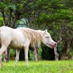 The national horse breed of Vietnam is the Hmong, which has a Cremello color.
