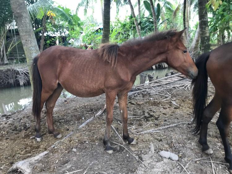 Horses in Vietnam often suffer from parasites.