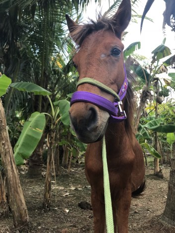 Fortuna, the answer to the question: Are there horses in Vietnam?