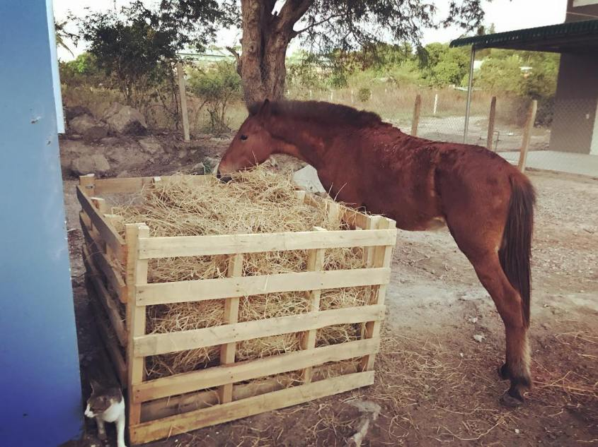 rescued horse in Vietnam eating as much hay as it can