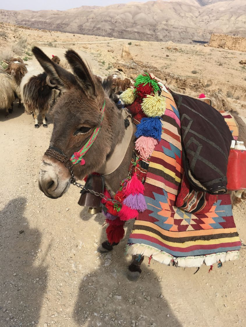 Donkeys in Jordan are usually richly decorated