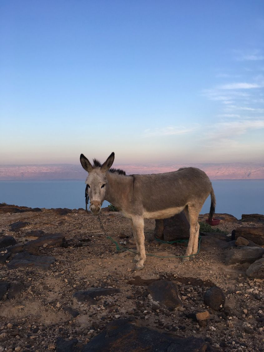 resting at the Dead Sea on the Jordan Trail with a Donkey