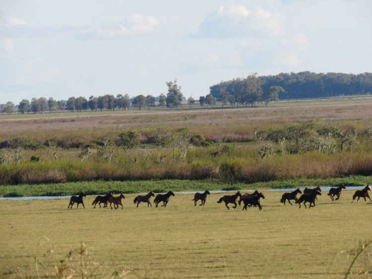 Criollo horses galloping in a big field during concentration for a Marcha competition