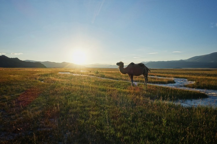 A Camel is standing on lush grassland during the sunset in Western Mongolia