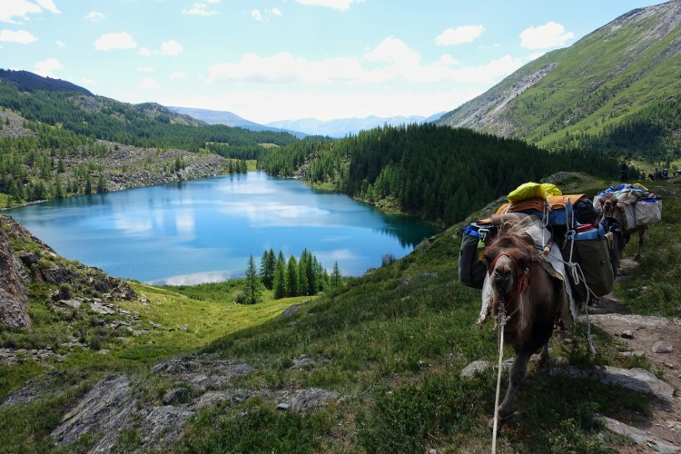 My camels are following me to meet the Eagle Hunters in Mongolia. In the background is a heart shaped lake.