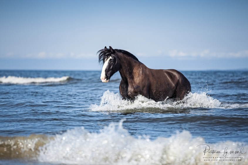 Miriam's passion for photography, travel and horses leads her to very special places: here she captured a Shire Horse splashing in the ocean