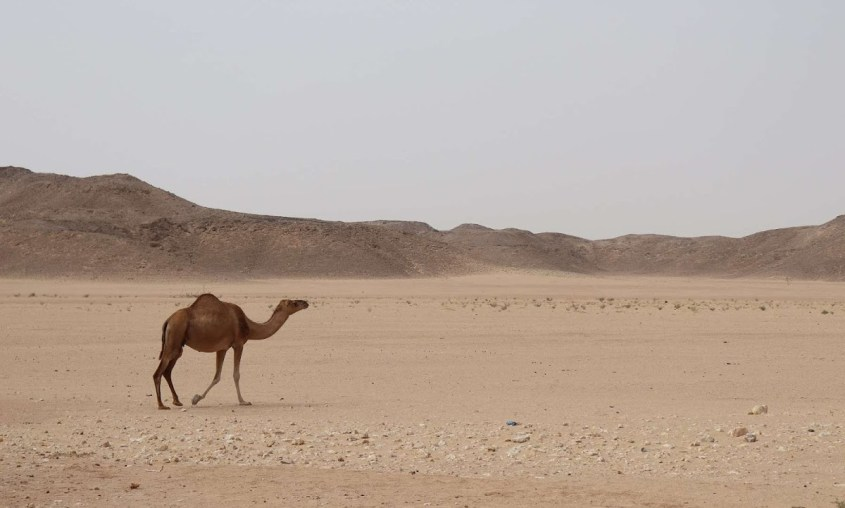 A wild camel walking