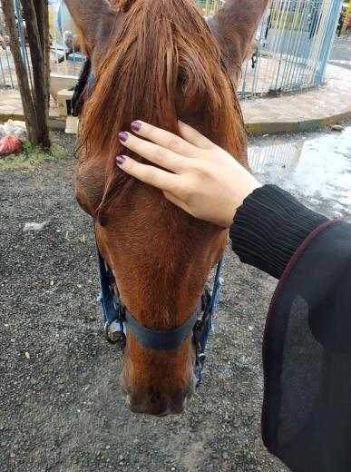 Petting a horse on the forehead before horse riding in Yemen