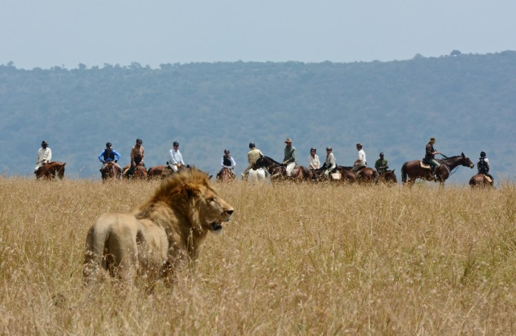 The guests of a horse riding tour encounter a lion on their tour in Kenya