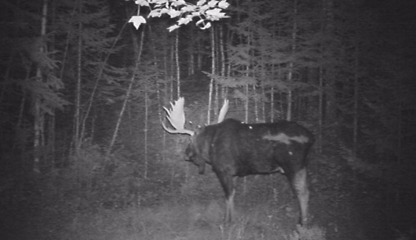 a moose seen in the dark