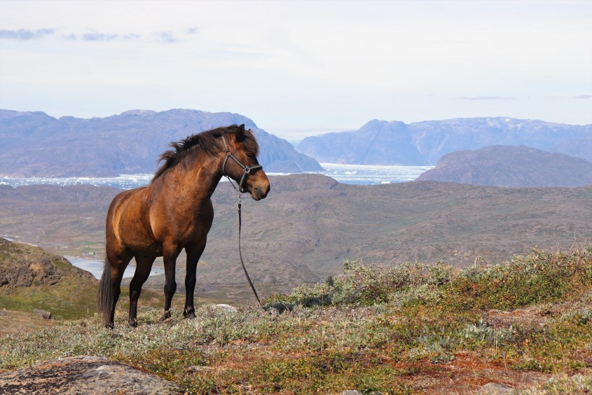 In Greenland, horses learned to pose majestically to fit into the stunning landscape and scenery