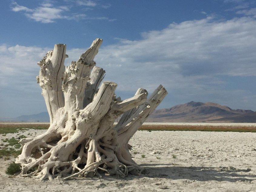 Remainder of a tree on the dried up shore of the Great Salt Lake, Utah