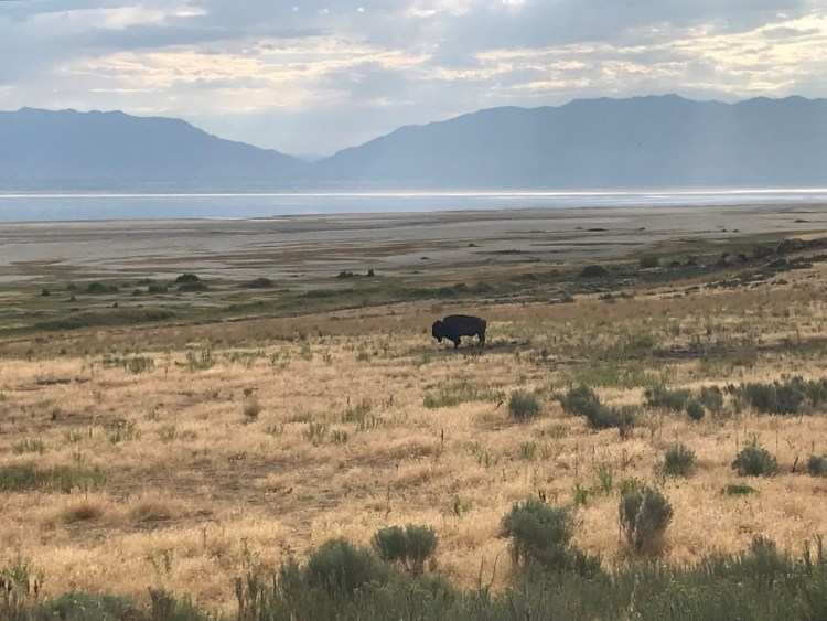 A lone bison standing on the shore of the Great Salt Lake, Utah