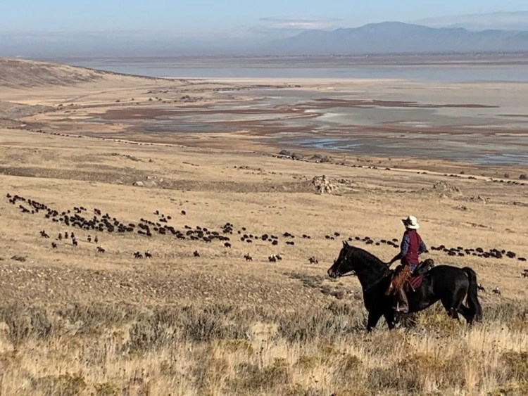 A rider is overlooking the right flank of the bison herd during roundup