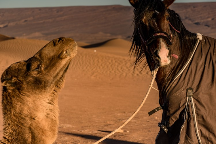 A horse and a camel communicating in the morning during a tour in Morocco