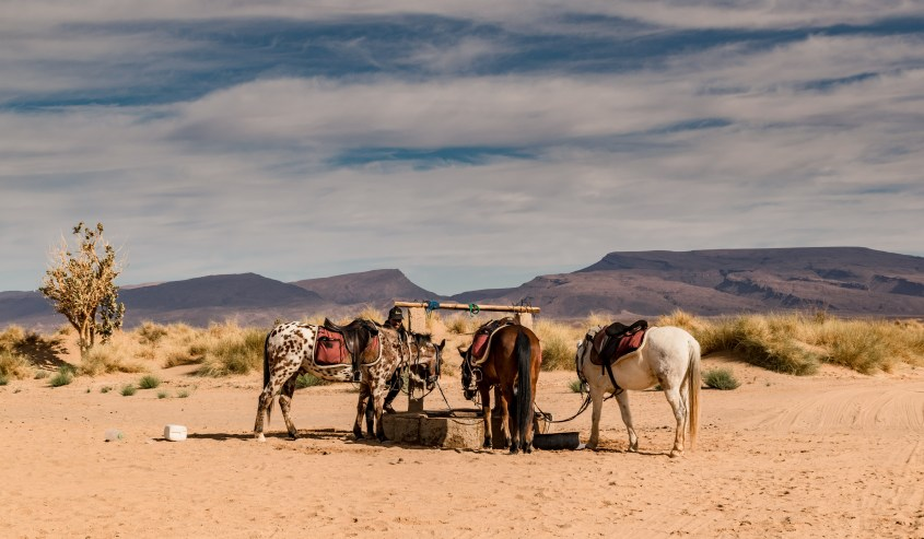 Three horses are tied to a well in an Oasis during a tour of horse riding in Morocco