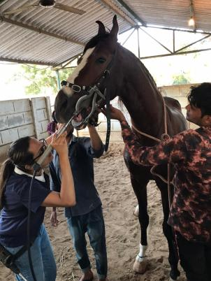 Grooms are helping to calm the horse during an equine dentistry appointment