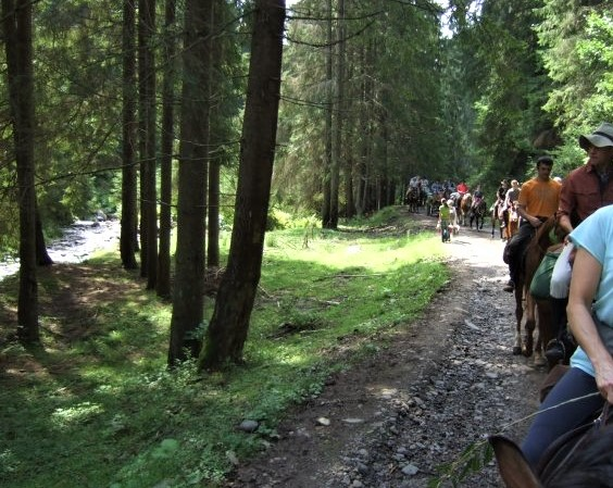 A long line of horses and riders making their way through a pine forest